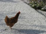 800px-Chicken_In_Snow