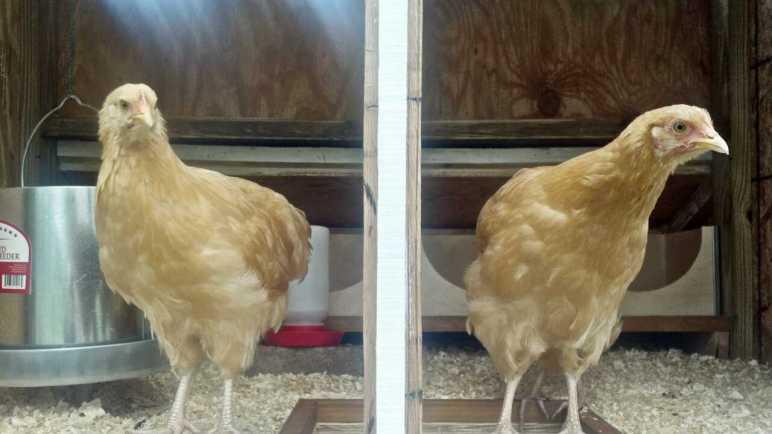 dramatic chickens!