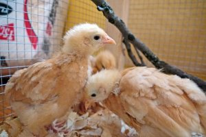 fuzzy head chicks