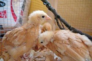 fuzzy head chicks