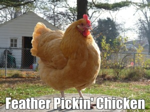 featherpickinchicken
