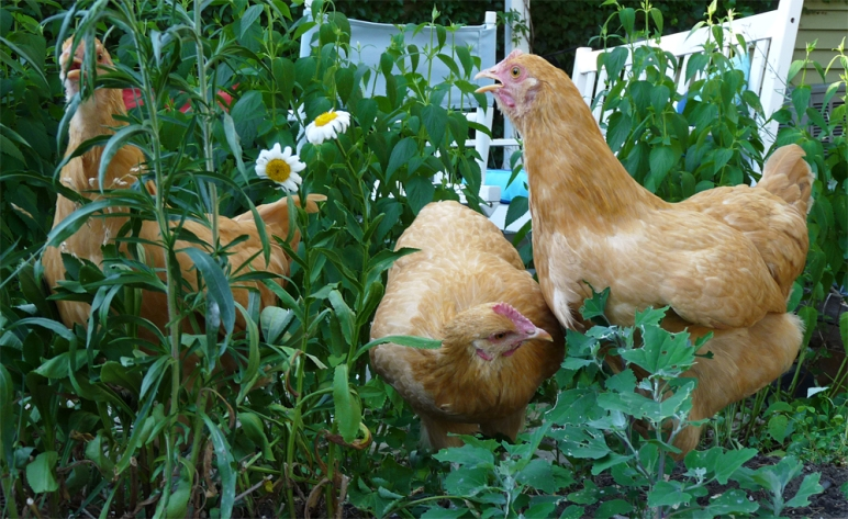 plants toxic to chickens