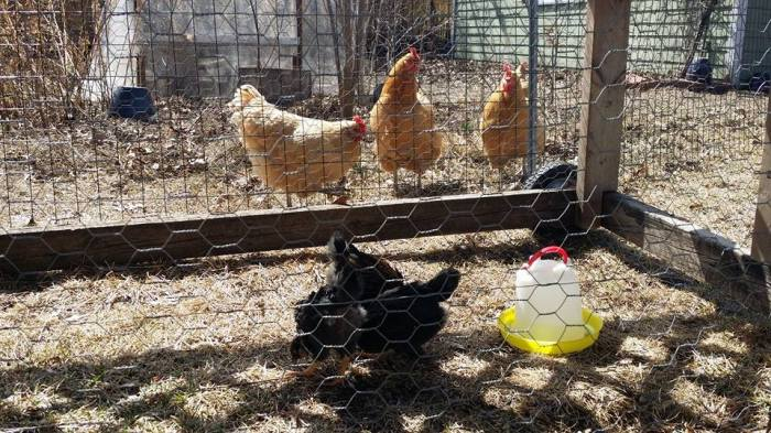 Chicks must be gradually introduced to older hens.  In this case, we used a 'chicken tractor' to keep the two groups physically separated but able to see each other.