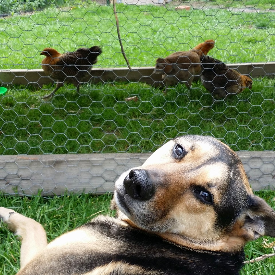 can you have chickens and a dog ferndale chickens